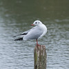 Black-headed Gull, Chroicocephalus ridibundus 3280