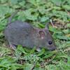 Brown Rat, Rattus norvegicus 3224