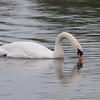 Mute Swan, Cygnus olor 3302