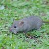 Brown Rat, Rattus norvegicus 3191