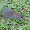 Brown Rat, Rattus norvegicus 3226