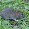 Brown Rat, Rattus norvegicus 3192