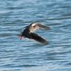 Redshank, Tringa totanus 0156