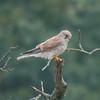 Kestrel, Falco tinnunculus 5286