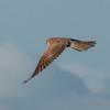 Kestrel, Falco tinnunculus 5223