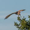 Kestrel, Falco tinnunculus 5221