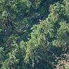 European Yew, Taxus baccata 5230