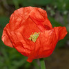 Red Poppy, Papaver rhoeas 8055