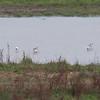 Avocets, Recurvirostra avosetta 5873
