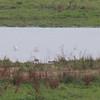 Avocets, Recurvirostra avosetta 5864