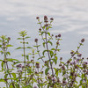 Water Mint, Mentha aquatica 9018