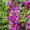 Purple Loosestrife, Lythrum salicaria 7430