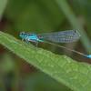 Blue-tailed Damselfly, Ischnura elegans 7332