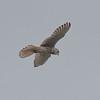 Kestrel, Falco tinnunculus 5484