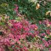 Autumun leavesm, European Spindle, Euonymus europaeus 5664