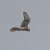 Kestrel, Falco tinnunculus 5476