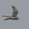 Kestrel, Falco tinnunculus 5448