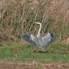 Grey Heron, Ardea cinerea 5398