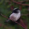 Long-tailed Tit, Aegithalos caudatus 8974