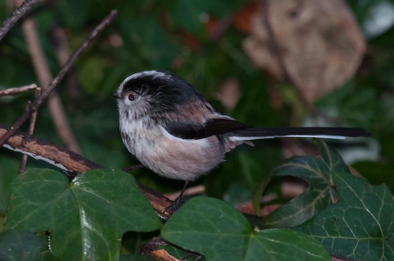 Long-tailed Tit, Aegithalos caudatus 8976