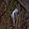 Long-tailed Tit, Aegithalos caudatus 8965