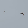 Short-eared Owl, Asio flammeus and Red Kite, Milvus milvus 5438