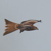 Red Kite, Milvus milvus 5327