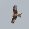 Red Kite, Milvus milvus 5333