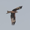 Red Kite, Milvus milvus 5322