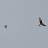 Short-eared Owl, Asio flammeus and Red Kite, Milvus milvus 5439