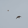Short-eared Owl, Asio flammeus and Red Kite, Milvus milvus 5412