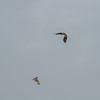Short-eared Owl, Asio flammeus and Red Kite, Milvus milvus 5347