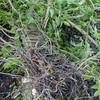 Woodpigeon nest, Columba palumbus 8356