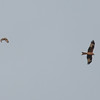 Short-eared Owl, Asio flammeus and Red Kite, Milvus milvus 5440