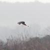 Short-eared Owl, Asio flammeus 5557