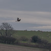 Red Kite, Milvus milvus 5220