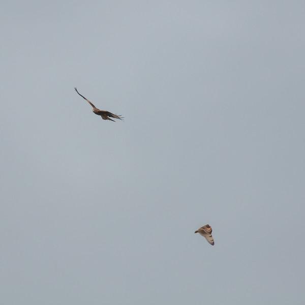 Short-eared Owl, Asio flammeus and Red Kite, Milvus milvus 5348