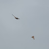 Short-eared Owl, Asio flammeus and Red Kite, Milvus milvus 5348