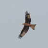 Red Kite, Milvus milvus 5360