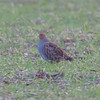 Grey Partridge, Perdix perdix 5476