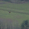 Red Kite, Milvus milvus 5210