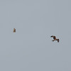 Short-eared Owl, Asio flammeus and Red Kite, Milvus milvus 5437
