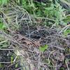 Woodpigeon nest, Columba palumbus 8358