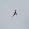 Red Kite, Milvus milvus 5331