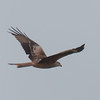 Red Kite, Milvus milvus 5326