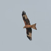 Red Kite, Milvus milvus 5362