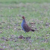 Grey Partridge, Perdix perdix 5463