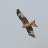 Red Kite, Milvus milvus 5336