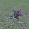 Grey Partridge, Perdix perdix 5457