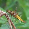 Broad-bodied Chaser, female, Libellula depressa 0043